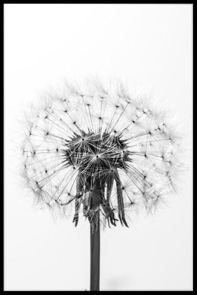 Black & White Dandelion Poster