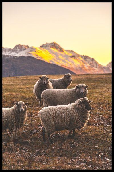New Zealand Sheep Poster
