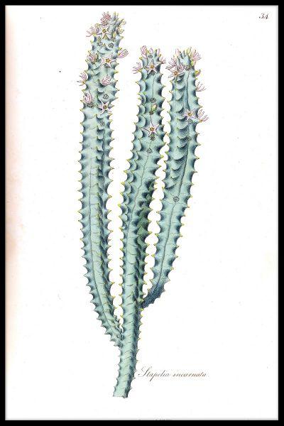 Cactus Illustration Poster