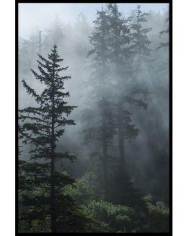 Fog in Evergreen Forest Poster
