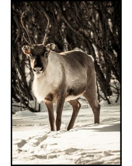 Reindeer in Snow Poster
