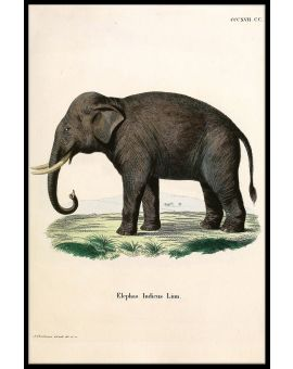Elephas Indicus Linn Poster