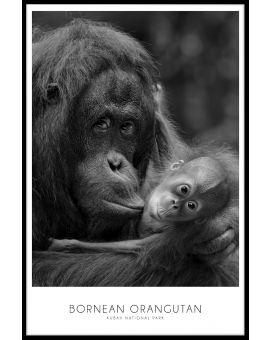Bornean Orangutan Poster